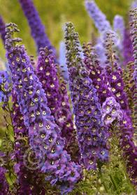 Delphinium elatum 'Guardian Lavender'