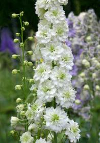 Delphinium elatum 'Guardian White'