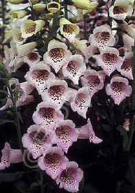 Digitalis purpurea 'Camelot Lavender'
