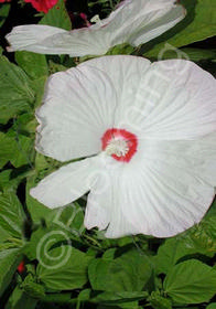 Hibiscus 'Luna White'