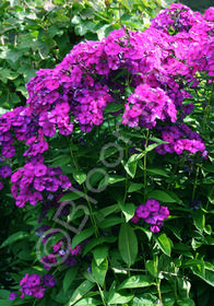 Phlox paniculata Flame 'Purple'