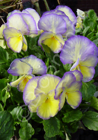 Viola cornuta 'Etain'