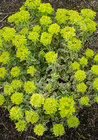 Euphorbia epithymoides 'First Blush'
