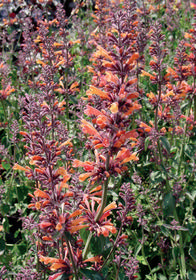 Agastache mexicana Acapulco 'Orange'