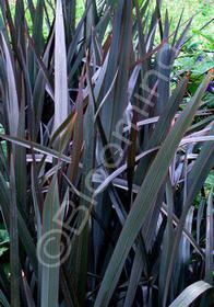 Phormium 'Platts Black'