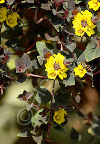 Lysimachia congestiflora 'Persian Chocolate'
