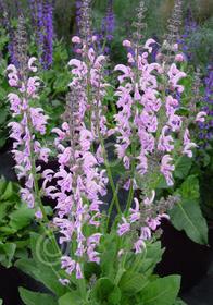 Salvia x pratensis 'Eveline'