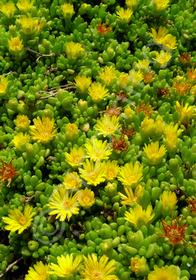 Delosperma nubigenum 'Basutoland'