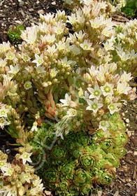 Rosularia muratdaghensis