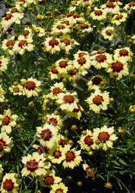 Coreopsis hybrida 'Autumn Blush'