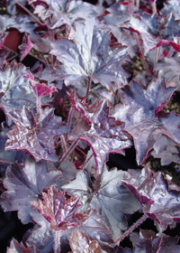 Heuchera 'Blackout'