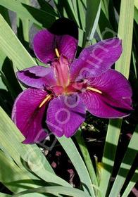 Iris Louisianna Hybrid  'Black Gamecock'