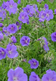 Geranium pratense 'Spinners'