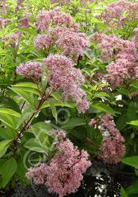 Eupatorium purpureum subsp. maculatum 'Gateway'