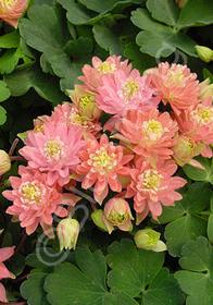 Aquilegia vulgaris 'Clementine Salmon Rose'