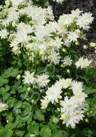 Aquilegia vulgaris 'Clementine White'
