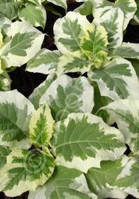 Brugmansia x cubensis 'Snowbank'