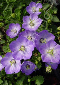 Campanula carpatica x 'Royal Wave'