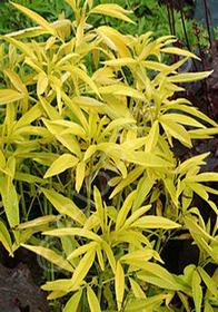 Coreopsis tripteris 'Lightning Flash'