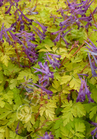 Corydalis shimienensis 'Berry Exciting'