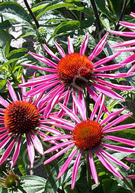 Echinacea purpurea 'Pica Bella'