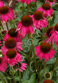 Echinacea purpurea 'Raspberry Tart'