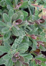 Euphorbia martinii x characias 'Royal Velvet'