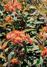 Euphorbia griffithii 'Fire Charm'