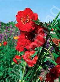 Geum 'Double Bloody Mary'