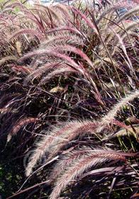 Pennisetum setaceum 'Rubrum'