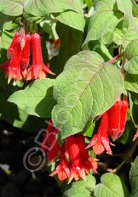 Fuchsia x speciosa