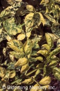Sambucus nigra 'Frances'