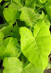 Xanthosoma mafaffa 'Lime Zinger'