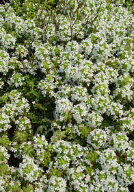 Thymus x citriodorus 'Lemon Frost'
