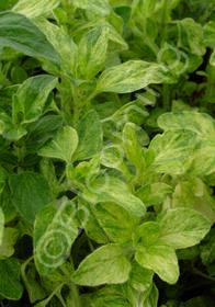 Origanum vulgare 'Variegatum'