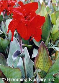 Canna 'Black Knight'