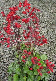 Heuchera 'Blood Red'