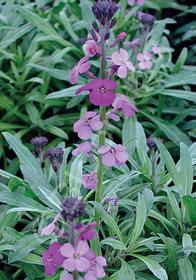 Erysimum linifolium 'Bowle's Mauve Compactum'