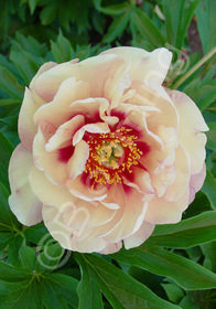 Paeonia x 'Itoh Magical Mystery Tour'