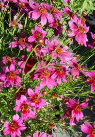 Coreopsis rosea 'Dreamcatcher'