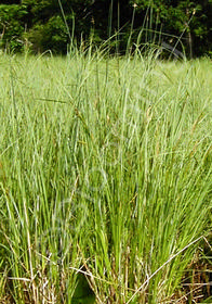 Carex stricta