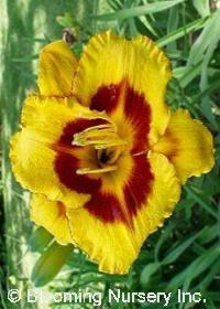 Hemerocallis 'Fooled Me'