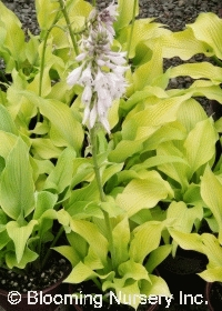 Hosta Sun Power Plantain Lily Zn3 Excellent Gold Hosta That