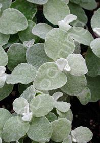 Helichrysum petiolare 'Argentea'