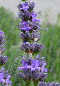 Lavandula x intermedia 'Impress Purple'