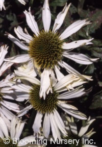 Echinacea purpurea 'Kim's Mophead'
