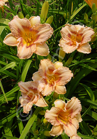 Hemerocallis 'Little Women'