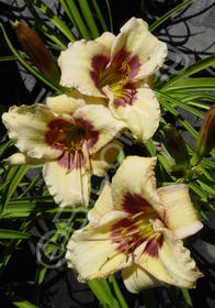Hemerocallis 'Siloam Sugar Time'