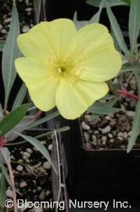 Oenothera fremontii 'Lemon Silver'