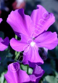 Viola 'Purple Showers'
